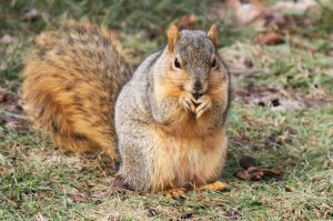 eastern_fox_squirrel_by_andehdulac-d5w30n0